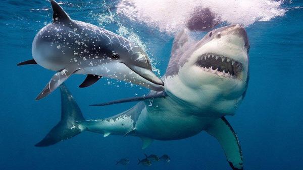 Requin dauphin